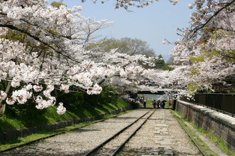 インクライン 桜のトンネル.jpg