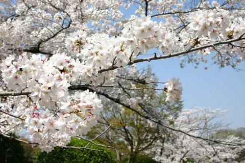 蹴上、桜.jpg
